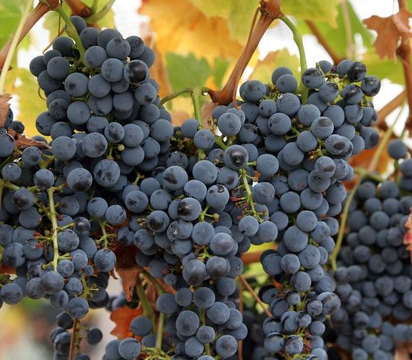 Виноград. Калорийность на 100 грамм разных сортов, белки, жиры, углеводы Польза и вред для организма. Рекомендации по выбору и хранению, рецепты
